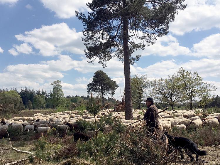 herder op de sallandse heuvelrug