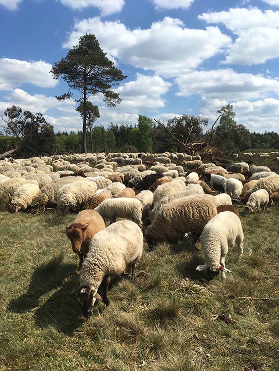 schapen op de sallandse heuvelrug