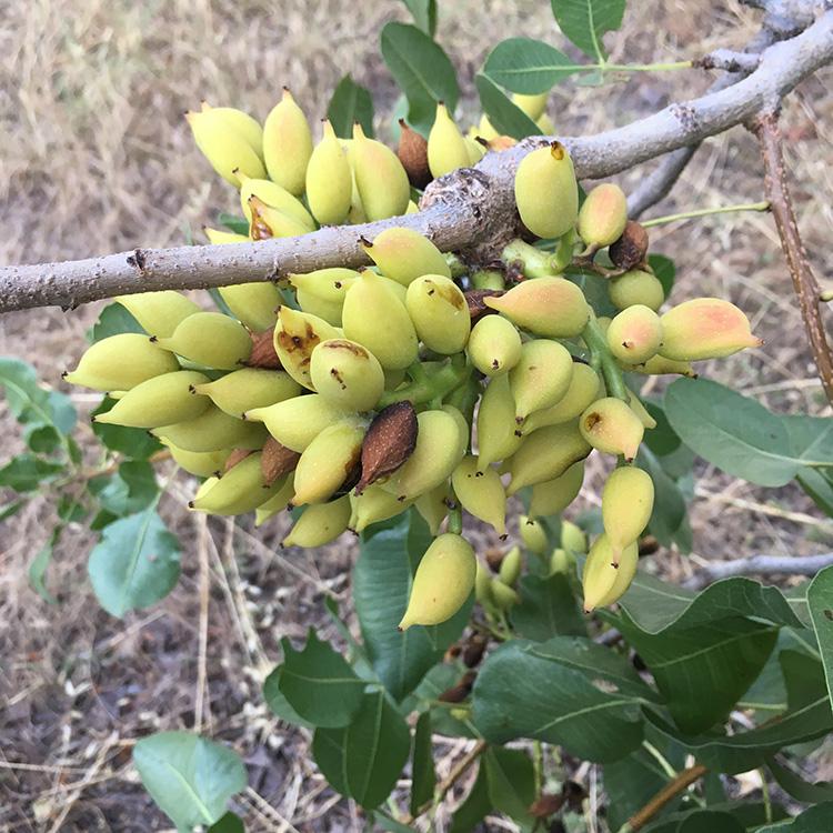 pistachenoten aan een pistacheboom op het eiland Aegina