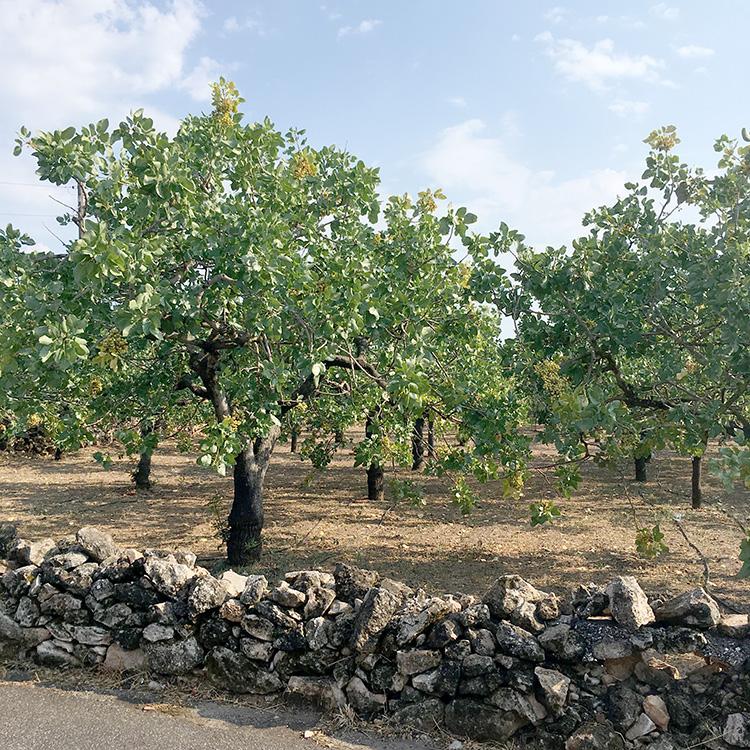 pistachebomen op het eiland Aegina