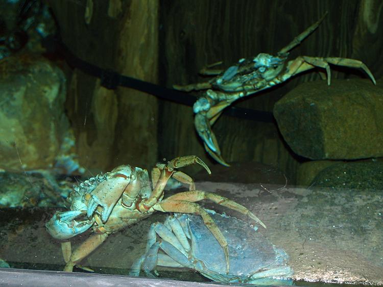 een van de aquariums bij ecomare met krabben
