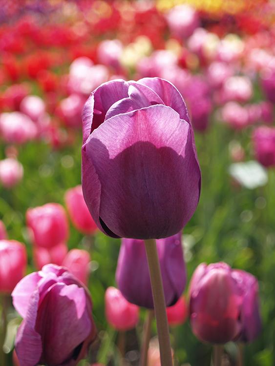 paarse tulp bij hortus bulborum